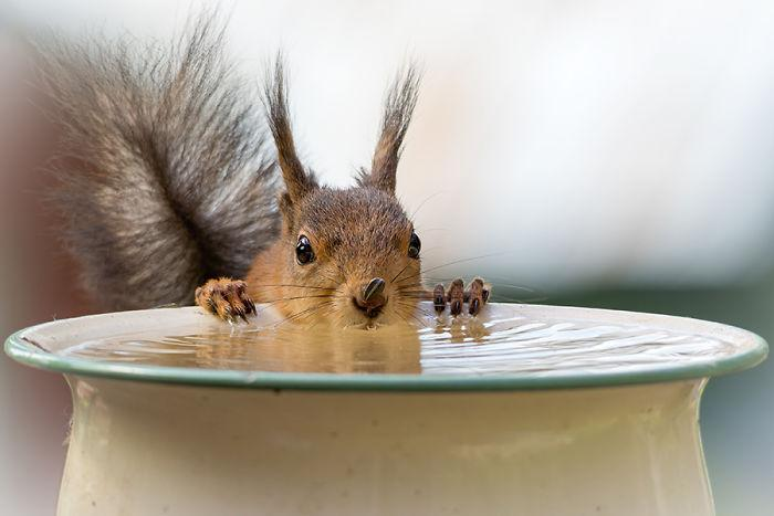 svorio metimo voverė