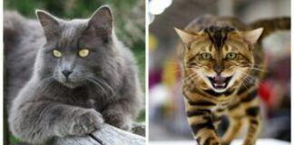 Kačių veislės, kurios yra retos ir stebina savo grožiu