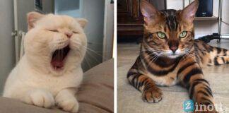 Kurios kačių veislės laikomos pačiomis pavojingiausiomis?