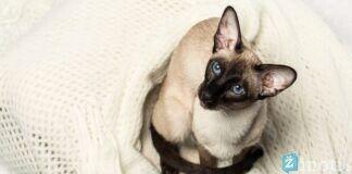 Siamo katė: ką reikia žinoti apie šią veislę prieš įsigyjant?