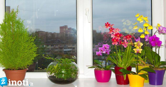 Orchidėjos namuose. Ar verta auginti šį dailų augalą?