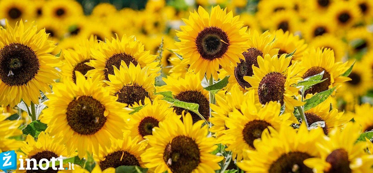 žydintys augalai