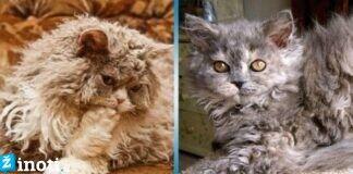 Selkirko rekso katės. Ši veislė labai skiriasi nuo visų kitų!