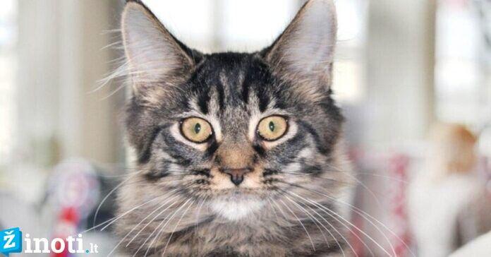 Liaudies prietarai: kaip išpranašauti orą pagal katės elgesį