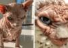 Katė be kailio tapo interneto žvaigžde! Jos niūri išvaizda neatbaido