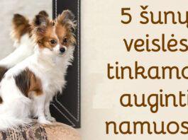 5 šunų veislės, kurios namuose nepadarys žalos. Sužinokite!
