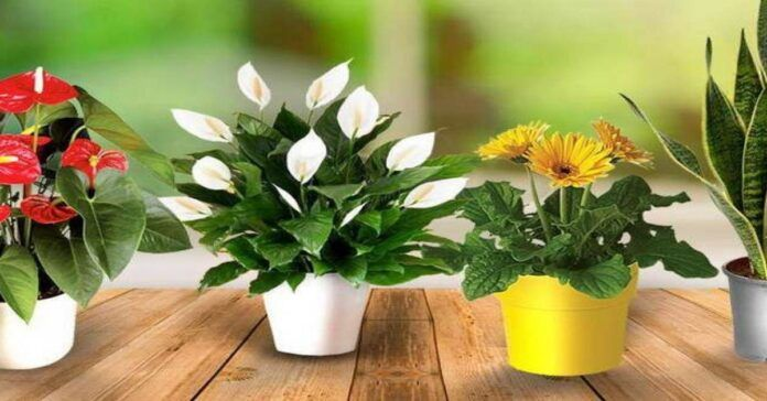Jei norite, kad namuose vyrautų meilė, auginkite šias gėles