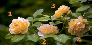Testas: pasirinkite rožę ir ji atskleis jūsų slaptus gebėjimus