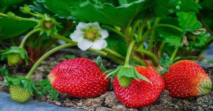 Paprastas braškių auginimo būdas: sulaukite ankstesnio ir gausesnio derliaus!