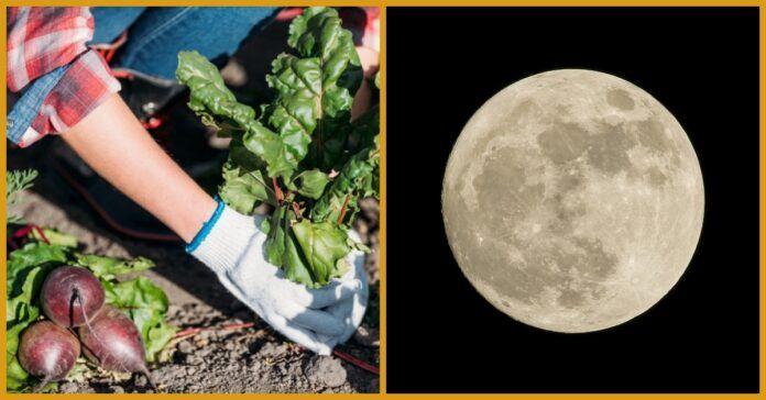 Pirmosios liepos pusės Mėnulio kalendoriaus patarimai sodininkams