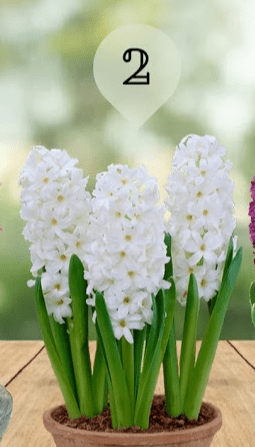 hiacintą