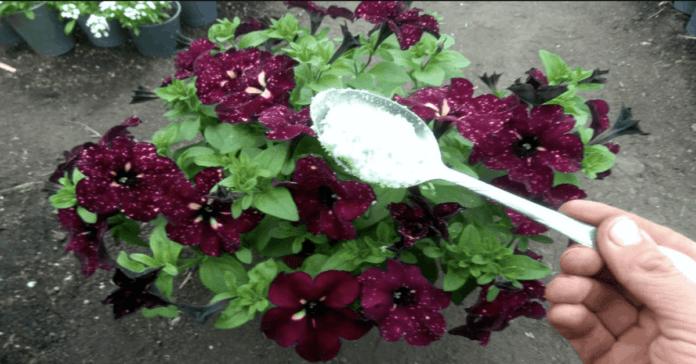 Tik vienas šaukštelis šių trąšų ir jūsų augalai pasikeis neatpažįstamai!
