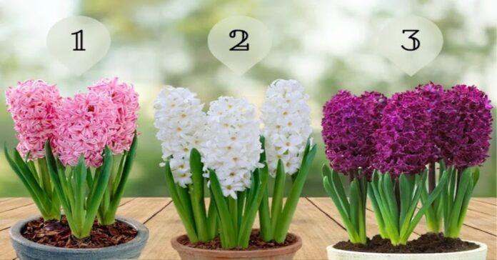 Pasirinkite gražiausią hiacintą ir sužinokite, kokia bus ši diena!