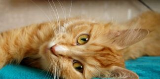 Šios katės į namus pritraukia laimę, džiaugsmą ir visapusišką sėkmę