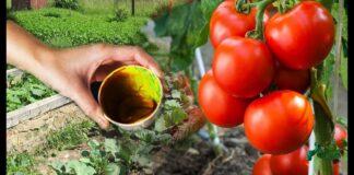 Vienas triukas ir pomidorų derliumi galėsite džiaugtis iki spalio