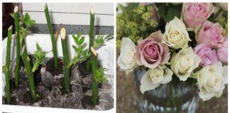 Greičiausias būdas rožių sodinukams gauti. Papuoškite savo sodą gėlėmis