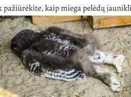 Ar žinojote, kaip miega pelėdos? Pasirodo, ant pilvo!