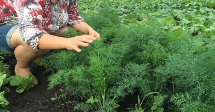 Kaip sodinti krapus rugpjūtį, kad jau netrukus galėtumėte skinti derlių?