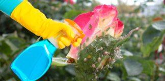 Pastebėję amarų ant rožių, iškart apipurkškite gėles šiuo tirpalu!