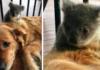 Koalos mažyliui buvo kilęs pavojus, tačiau šuo parsinešė ją namo...