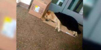 Ištikimas labradoras 7 dienas sėdėjo prie ligoninės ir laukė savo šeimininko