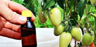 Kaip paspartinti pomidorų nokimą ant krūmų? Naudingi patarimai!