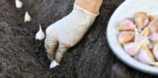 Žieminių česnakų sodinimas. Kaip tai atlikti greitai ir efektyviai?