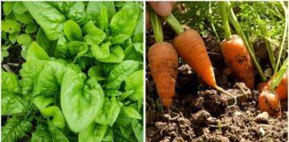 Sužinokite, kokias daržoves galima užsiauginti per mėnesį