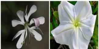 11 gėlių, kurios žydi tik prietemoje. Jos nuostabiai kvepia ir puošia sodą!