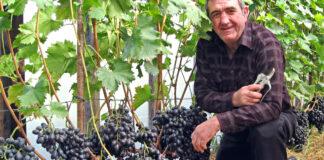 Kaip genėti vynuoges vasarą, kad derlius jus nustebintų?