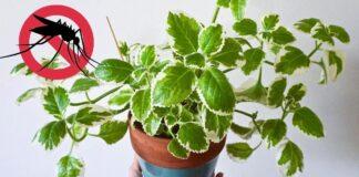 Jei norite, kad vabzdžiai neskristų į jūsų namus, balkone auginkite šiuos augalus