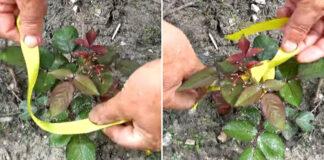 Kodėl aplink rožes rekomenduojama pririšti geltoną kaspinėlį?