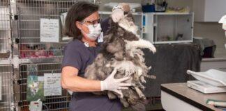 Veterinarai šiam gyvūnui nupjovė kilogramą kailio. Pasirodo, kad tai miela katytė!