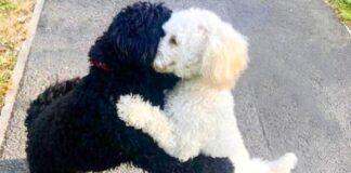Kai susitikino du identiški, tik skirtingų spalvų šunys, jie iškart apsikabino