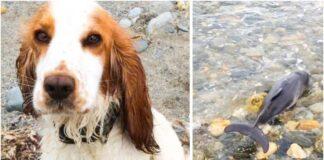 Šuo padėjo išgelbėti ant kranto įstrigusį delfino jauniklį