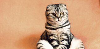 Kaip pasirinkti tinkamą katino veislę pagal horoskopą?