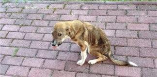 Benamis šuo sužalotu stuburu rado namus už 8000 km