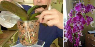 Gėlininkas išdavė paslaptį: orchidėjos turėtų augti keramzite
