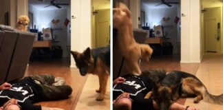 Vyras nusprendė apsimesti, kad apalpo. Jo šunų reakcija nepaliks abejingų!