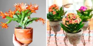 Žiemą žydintys vazoniniai augalai. Papuoškite namus vasaros spalvomis!