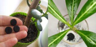 Kodėl aktyvinta anglis turi būti įdėta į augalų vazonus?