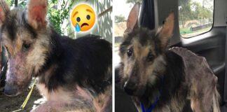 Leisgyvis šuo sutiko geraširdę moterį ir po kelių mėnesių tapo visai kitu šunimi