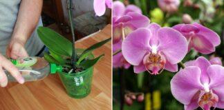 Naminės orchidėjų trąšos. Porą laistymų ir rezultatas akivaizdus