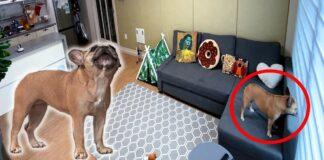 Šeimininkas slapta nufilmavo namuose likusį vieną šunį. Daugiau jo vieno nebepaliks