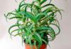 Kodėl alavijas namuose yra teigiamą energiją turintis augalas?
