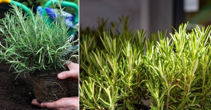 Rozmarinas iš parduotuvės. Kaip jį auginti ir prižiūrėti?