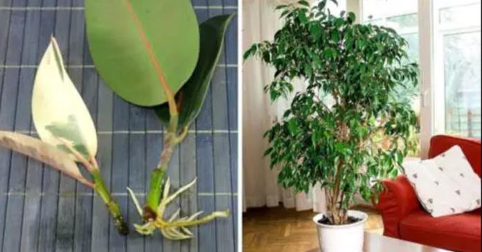 Įnoringo fikuso auginimo namuose paslaptis. Kaip išvengti lapų metimo?