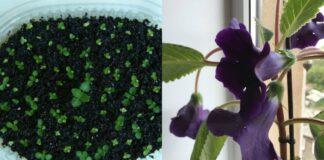 Kokius kambarinius augalus lengva auginti namuose iš sėklų?
