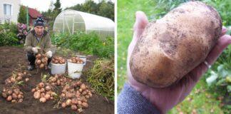 Sumanūs patarimai, kurie padės padvigubinti bulvių derlių