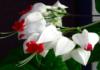 Tai gražiausia kambarinė gėlė, žydinti beveik visus metus!